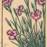 June Dianthus