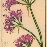 October Nerine